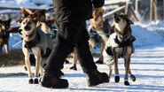 Alaskan Huskies Yukon Quest2