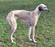 ArabianGreyhound