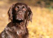 Hund Kleiner Münsterländer Braun