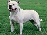Hunde-american-bulldog