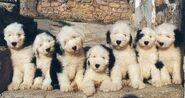 AltenglischeSchäferhundWelpen