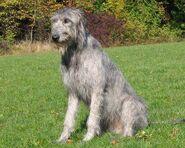 Irish-wolfshound