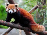 Roter-Panda ganz-auf-Stamm bewegung-nach-links-und-Blick-in-Kamera Mai-2021