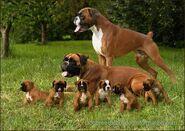 Boxerfamilie
