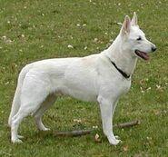 WeißerSchäferhund