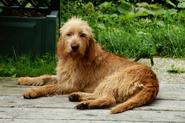 Griffon-Fauve-De-Bretagne-Hund-liegt