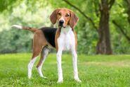 American-Foxhound-small