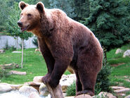 Ours brun parcanimalierpyrenees 2