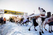 Alaskan Huskies Yukon Quest