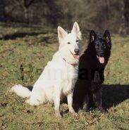 WeißerSchwarzerSchäferhund
