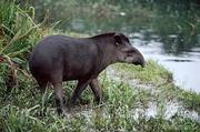 Amazon tapir.png