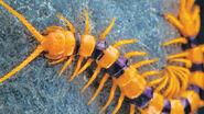 Centipede miel pops