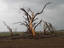 Tree debarked by EF5 tornado