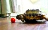 Horatio the Turtle