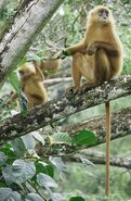 European leaf monkey (SciiFii)