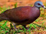 Rodrigues pigeon (SciiFii)