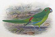 Lord Howe parakeet (SciiFii)
