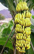American banana (SciiFii)