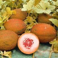 Sweetener melon (SciiFii)