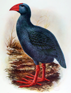 Réunion swamphen (SciiFii)