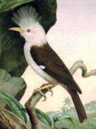 Hoopoe starling (SciiFii)