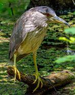 Mauritius night heron (SciiFii)