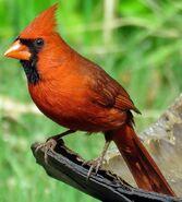 Western cardinal (SciiFii)