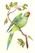 Seychelles parakeet (SciiFii)