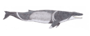 Coronodon (SciiFii).png