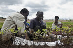 Groundnut harvesting in Malawi