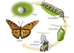 Monarch Life cycle.png