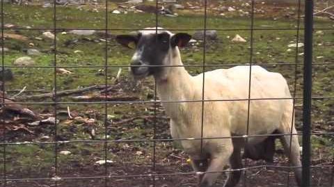 Goat Scream - Origine Meme (HD)