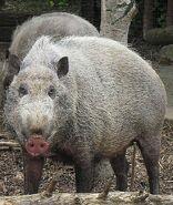 506px-Sus Barbatus, the Bornean Bearded Pig (12616351323)
