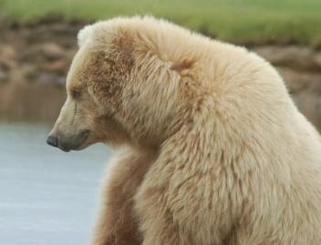 352px-Bear.jpg