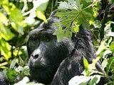 Pygmy Gorilla
