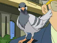 Haiku as a Pigeon