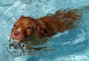 Swimming-nova-scotia-duck-tolling-retriever-wallpaper