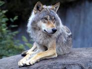 Der Wolf, Vorfahre des Hundes