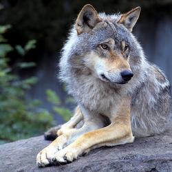 Wolf-Wallpaper-Relaxing.png