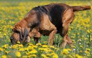 Bloodhoundsf2
