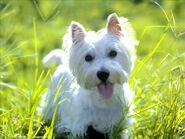 West Hightland White Terrier