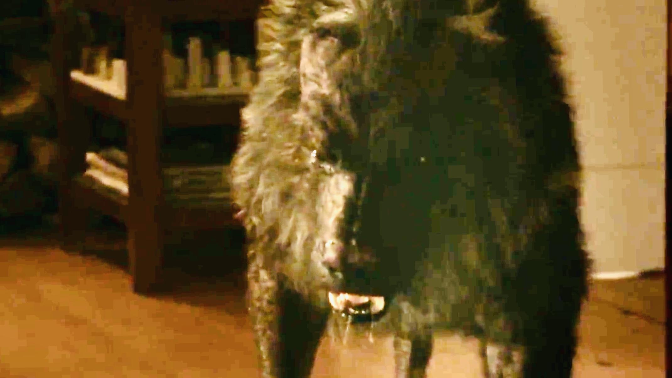 Razorback Wolf