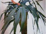 Palma fasolowa