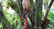 Celia Fruit Tree