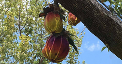 Cannonball Fruit Tree.png