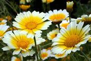 Shingiku daisy edible