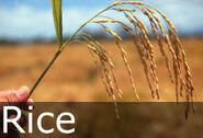Rice caption