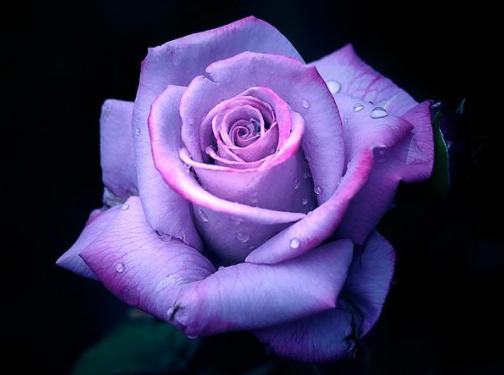 Swych Rose