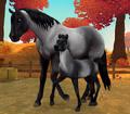 American Quarter Horse - niebieski deresz