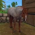 American Quarter Horse - Kasztanowatodereszowata